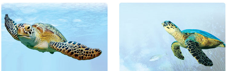 Lop-12-moi.unit-6.Communication-and-Culture.II. Culture.1. Read the text about how sea turtles are protected and complete the notes